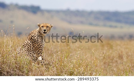 A wild cheetah looking at the camera - stock photo