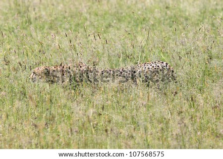 A WILD Cheetah silently stalks its prey in the Masai Mara, Kenya, Africa. Moments after this photo, the cheetah successfully caught a Thomson's gazelle. - stock photo