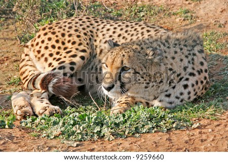 A wild cheetah while resting on the ground