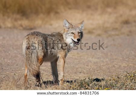 A wild coyote looking back at the camera.  Shot in the Alberta badlands near Medicine Hat, Alberta, Canada. - stock photo