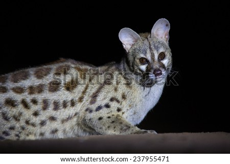 A wild, curious large-spotted genet, Genetta tigrina, photographed at night at Molema camp in Tuli Wilderness in the Tuli Block, Botswana. - stock photo