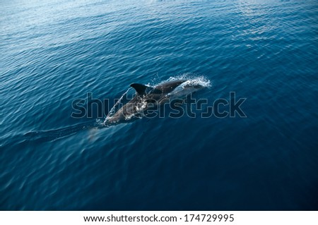 A wild dolphin swimming in the Corinthian Gulf in it's natural habitat - stock photo