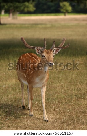 A wild fallow deer stag walking towards the camera on a sunny summers day. This was taken in Bushy Park in London. Taken in vertical format - stock photo
