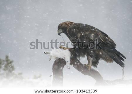 A wild female Golden Eagle photographed in blizzard conditions with her ptarmigan prey. Photographed in the mountains of Central Norway. - stock photo
