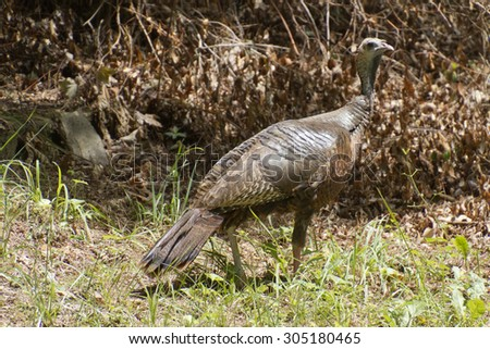 A wild female turkey alert to danger forages for food during summer