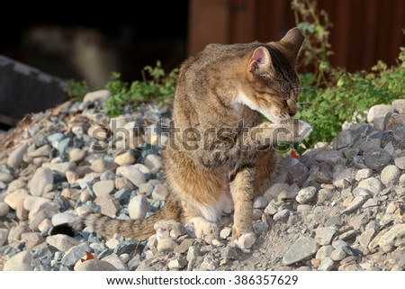 A Wild Feral Cat Cleaning its Face with its Paw - stock photo