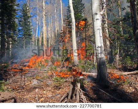 A wild fire burns in an aspen and fir forest. - stock photo
