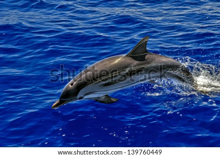 A wild free dolphin playing and jumping - stock photo