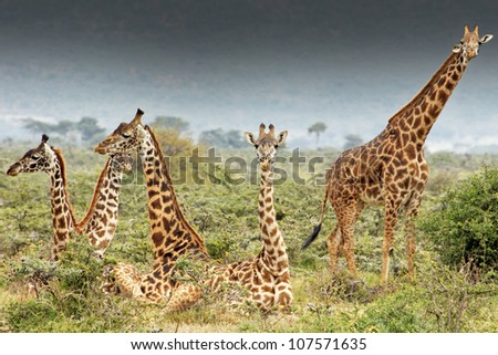 A WILD group of Masai Giraffe or Maasai Giraffe, also known as the Kilimanjaro Giraffe ( Giraffa camelopardalis tippelskirchi), in the Masai Mara of Kenya, Africa. - stock photo