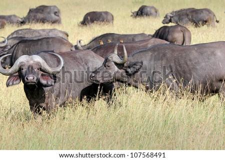 A WILD herd of African Buffalo in the Masai Mara, Kenya, Africa - stock photo