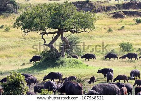 A WILD herd of African Buffalo migrate at the Masai Mara, Kenya, Africa - stock photo