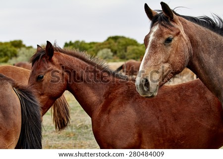 A wild herd of horses with foals in the high desert