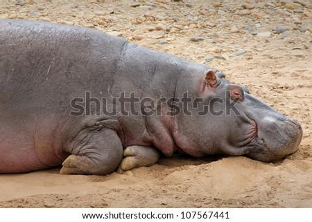 A WILD Hippopotamus Sleeps on the Bank of the Mara River in the Masai Mara, Kenya, Africa - stock photo