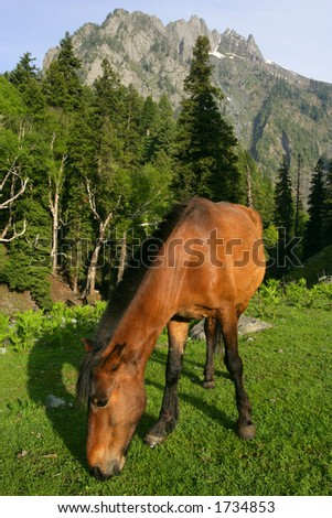 A wild horse grazing near a forest and mountains in Kashmir, India. - stock photo