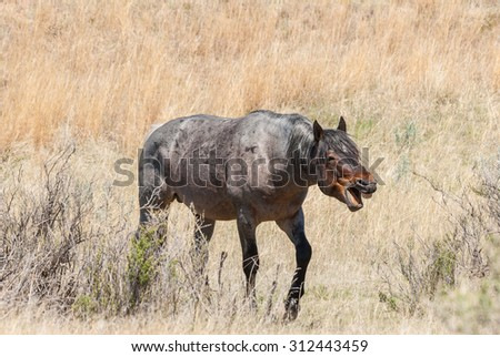 A wild horse yawning. Plenty of room for a caption. - stock photo