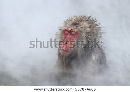 A wild Japanese snow monkey having a hot spring bath with it's eyes closing in winter with thick white water steam as background. Photoed in the Jikokutani wild monkey park, Nakano, Japan.