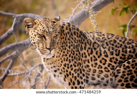 A wild leopard in the bush in Namibia Africa