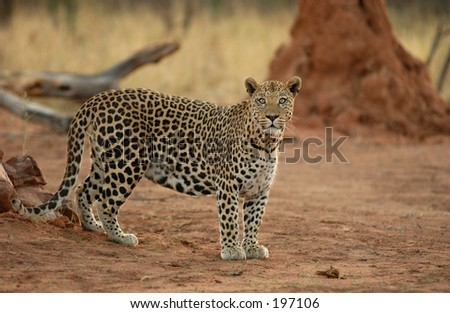 A wild leopard, Namibia, Africa - stock photo