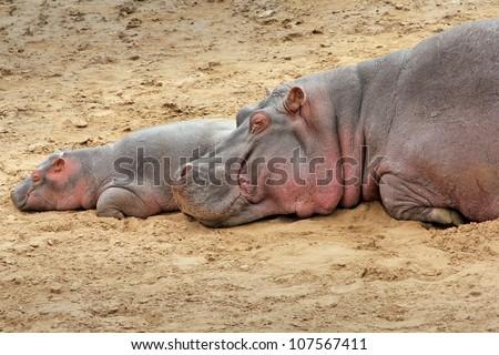 A WILD Mother and Baby Hippopotamus Sleep on the Bank of the Mara River in the Masai Mara, Kenya, Africa - stock photo