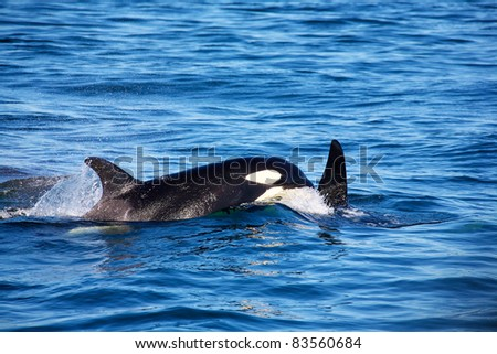 A wild mother and baby killer whales breaching in the ocean outside of Vancouver Island British Columbia Canada