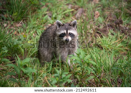 A wild racoon (Procyon lotor) looks up at the camera while it looks for food on the ground. - stock photo