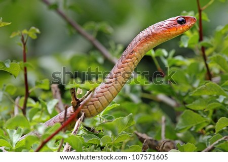 A WILD RED Boomslang (Dispholidus typus) in Kenya, Africa. Boomslangs are rare, and a red boomslang is one of the RAREST snakes in the world! - stock photo