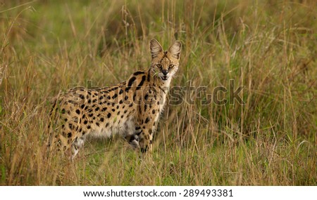 A wild Serval standing in the grass - stock photo