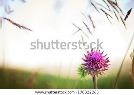 A wild thistle growing in Wyoming, USA