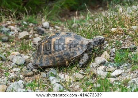 A wild tortoise walking on the ground - stock photo