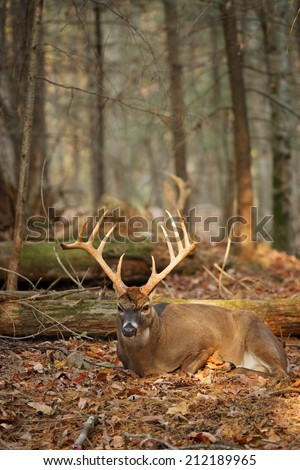 A wild white-tailed deer taking a rest. - stock photo
