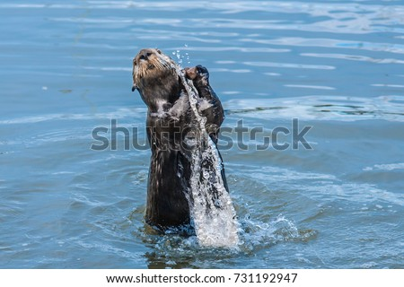 A wild young California Sea Otter (Enhydra lutris) jumps and splashes in the water while playing with a round stone, in shallow waters of Monterey Bay.