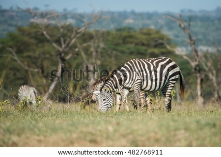 A wild zebra eating grass in the field