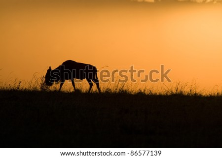 A wildebeest at sunset in the Masai Mara in Kenya.