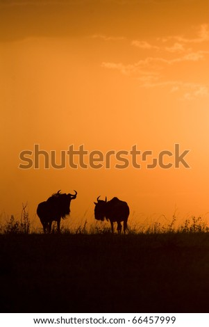 A wildebeest herd at sunset in the Masai Mara in Kenya.