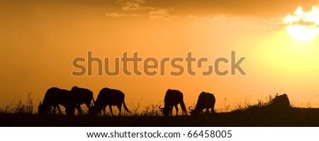 A wildebeest herd at sunset in the Masai Mara in Kenya (panoramic). - stock photo