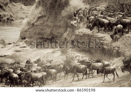 A wildebeest herd ready to cross the Talek River during the Great Migration in Kenya (sepia). - stock photo