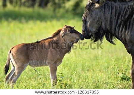 A Wildebeest mother has a moment of bonding with her newly born calf - stock photo