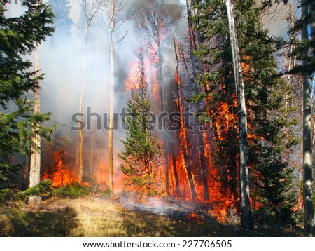 A wildfire burns in a fir and aspen forest. - stock photo