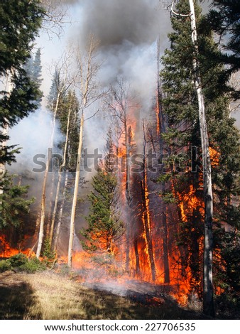 A wildfire burns in an aspen and fir forest. - stock photo