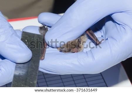 A wildlife biologist taking measurement of a bat.   - stock photo