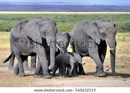 A wildlife capture of an elephant family in Tanzania