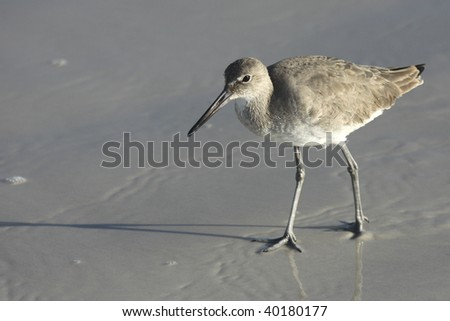 A Willet, a large sandpiper of the interior west and ocean beaches, casts a long legged shadow on the beach. - stock photo