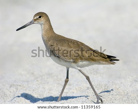 A Willet walking on the beach in central Florida - stock photo