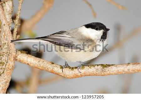 a willow tit (Poecile montanus or Parus Montanus) bird perched on a branch - stock photo