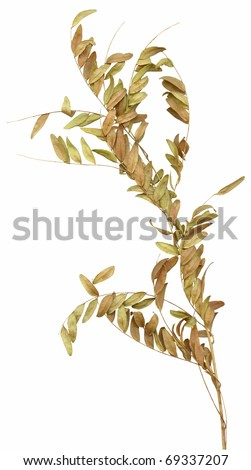 A wilting brown dried ornamental branch with small leaves. Very high-res. Clean edges, no shadows. - stock photo
