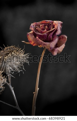 A wilting rose and thistle signifies lost love, divorce, duality - stock photo