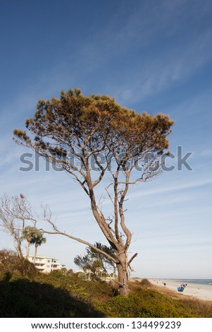 A windblown pine tree under nice, blue skies by a beach