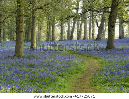 A winding path through the bluebells at Blickling. - stock photo