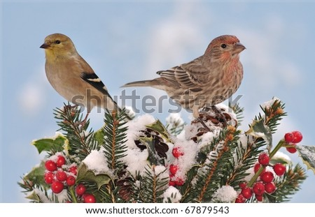 A winter American Goldfinch (Carduelis tristis) and a House Finch (Carpodacus mexicanus) on festive holly and spruce boughs. - stock photo