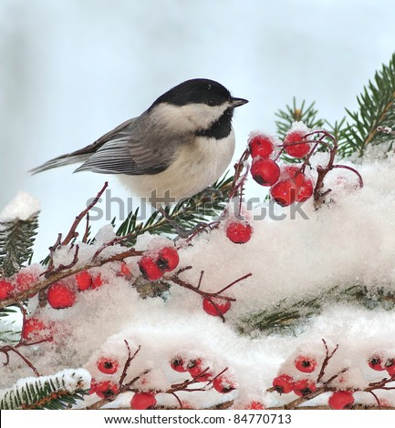 A winter Black- capped Chickadee (Poecile atricapillus) at festive spruce and hawthorn branches. - stock photo